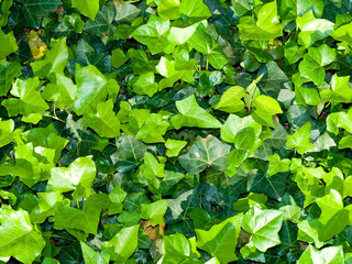 Bright and Lush Green Ivy Ground Cover Background