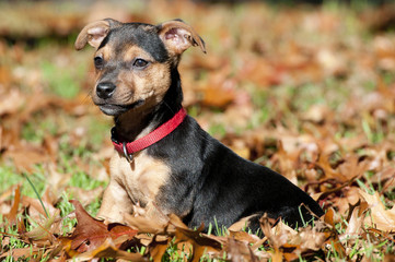 Little brown with black Jack russel sitting in the grass