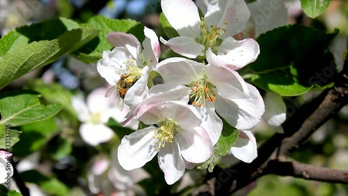 Bee & Apple Flowers