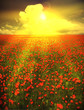 Beautiful poppy field in sunset