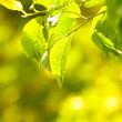 Pflaumenblätter im Sonnenschein