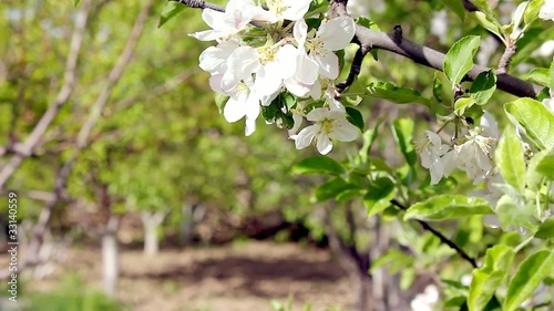 Pear Tree & Flower
