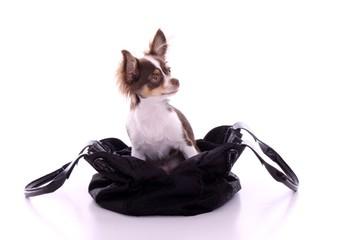 Chihuahua Welpe in Handtasche