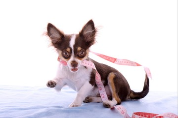 crazy Chihuahua Welpe mit Massband