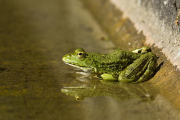 Rana esculenta - Green Frog - Grenouille verte