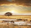 Fototapeten,safarie,zebra,sonnenuntergang,tier