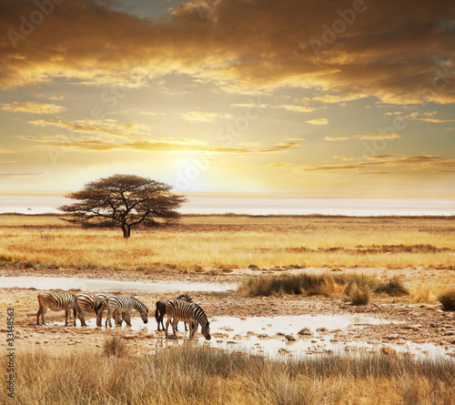 Foto op Canvas Zebra Safari