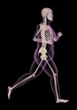 Medical skeleton of an overweight woman running