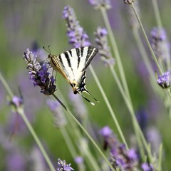 Papillon Machaon Grand Porte-queue