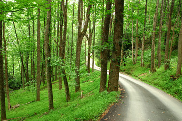 Country Road winds through Lush Forest