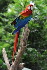 Papagallo arara