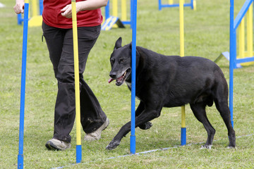 slalom competition agility dog