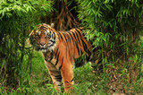 Fototapeta dżungla - agresja - Dziki Ssak