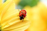Fototapeta biedronka - tło - Insekt