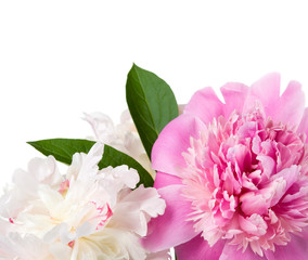 Gentle peonies on the white with space for text