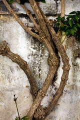 worn textured cement wall with crawler plant