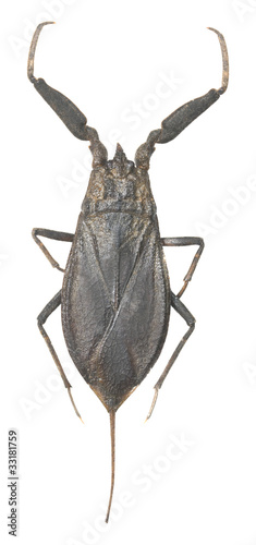 Water scorpion isolated on white background