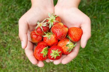 Gathering Strawberries