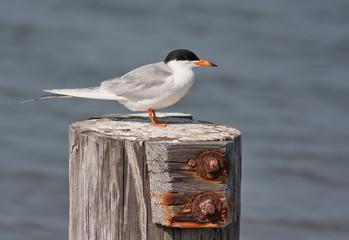 Forster's Tern Bird (Sterna forsteri )