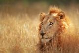 Fototapety Lion in grassland