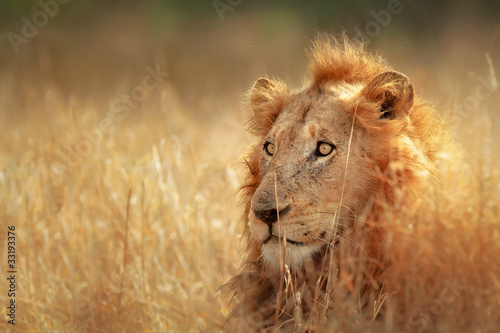 Lion in grassland