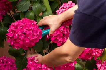 Podando hortensias