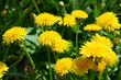 Flowering dandelions on the lawn