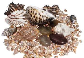 Sea cockleshells on a white background