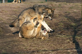 male wolves fighting