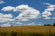 Grain field ready for harvest