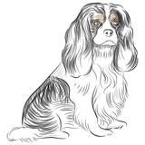 Pure Bred Cavalier King Charles Spaniel Dog Drawing poster