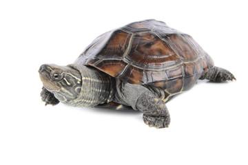 tropical tortoise