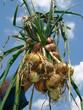 fresh onions bunch in farmer hand