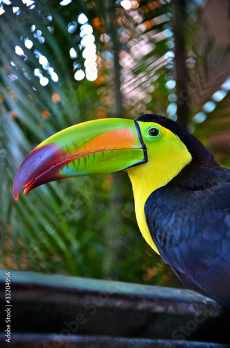 Colorful toucan bird in Mexico