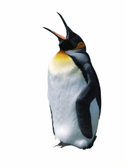Chick emperor penguin