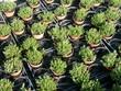 Jungpflanzen in Tontöpfen einer Gärtnerei in Frankfurt am Main