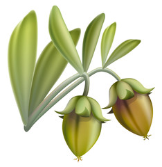 Jojoba fruit. Vector illustration.