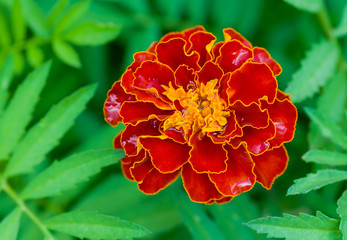 French marigold (Tagetes patula) a time of flowering closeup.