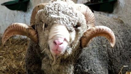 mouton 002
