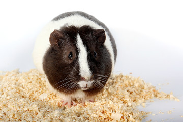 guinea pigs and Sawdust for animals