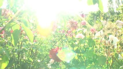 rose sun flare