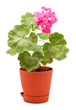 Geranium in Pot