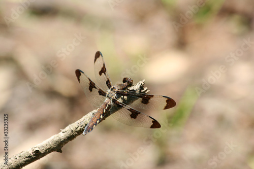 Female Twelve Spot Skimmer dragonfly