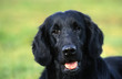 tête de flat coated retriever en gros plan