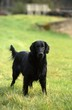 flat coated retriever debout de face