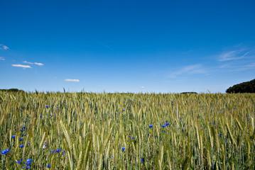 Getreidefeld und Kornblumen