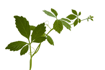 jiaogulan - Pflanze des ewigen Lebens