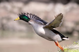 Wild duck male takeoff