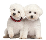 Bichon Frises, 9 and 7 years old poster