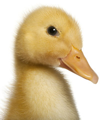 Close-up of Duckling, 1 week old